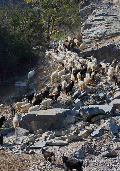 Goats moving through a rock quary and into the hills to forage.