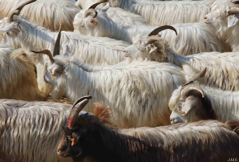 Detail of goats.