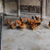 Chickens waiting to be fed.