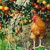 Chicken in tangerine orchard.