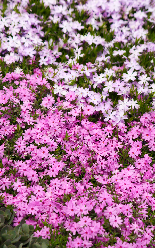 In-Phlox Of Spring