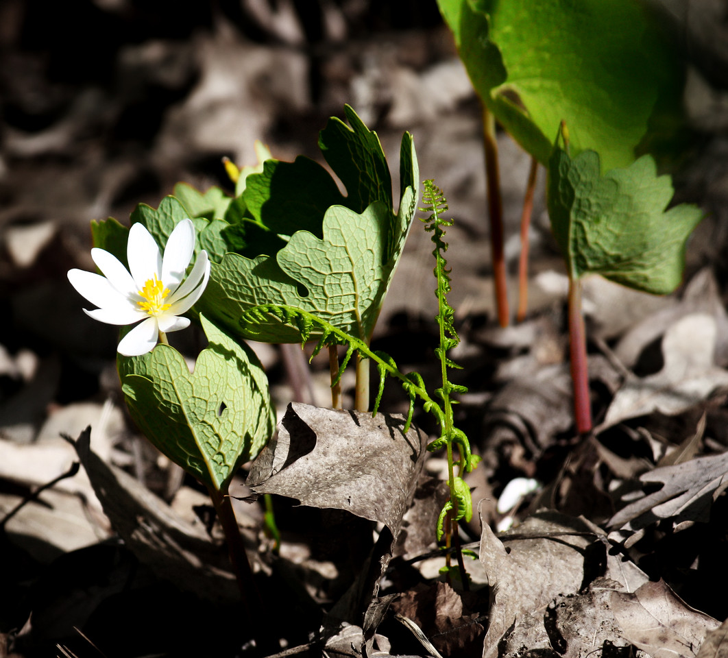 Bloodroot And Fern