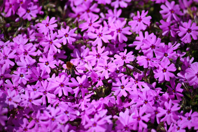 Fawning Over Phlox