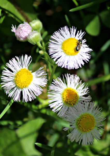 Fleabane And Sunshine