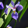 Wild Purple Water Iris