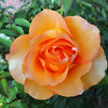 A Summers Rose