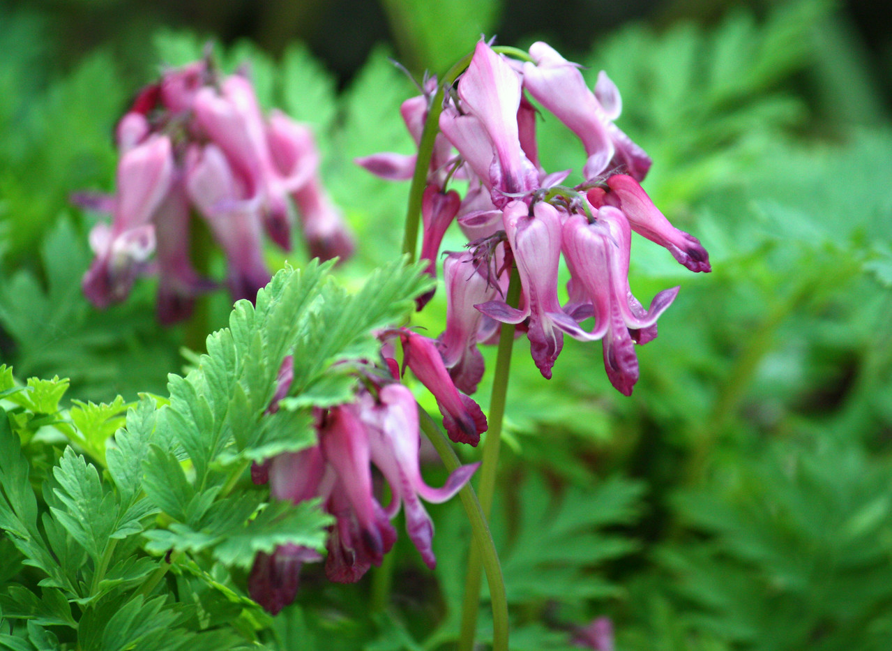 Wild Bleeding Heart