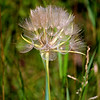 Septembers Soft Salsify