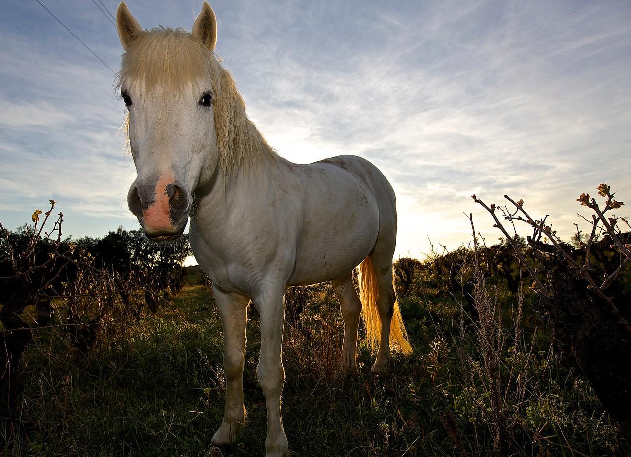 Horse And Vineyard.  Near Saint Georges d'Orques