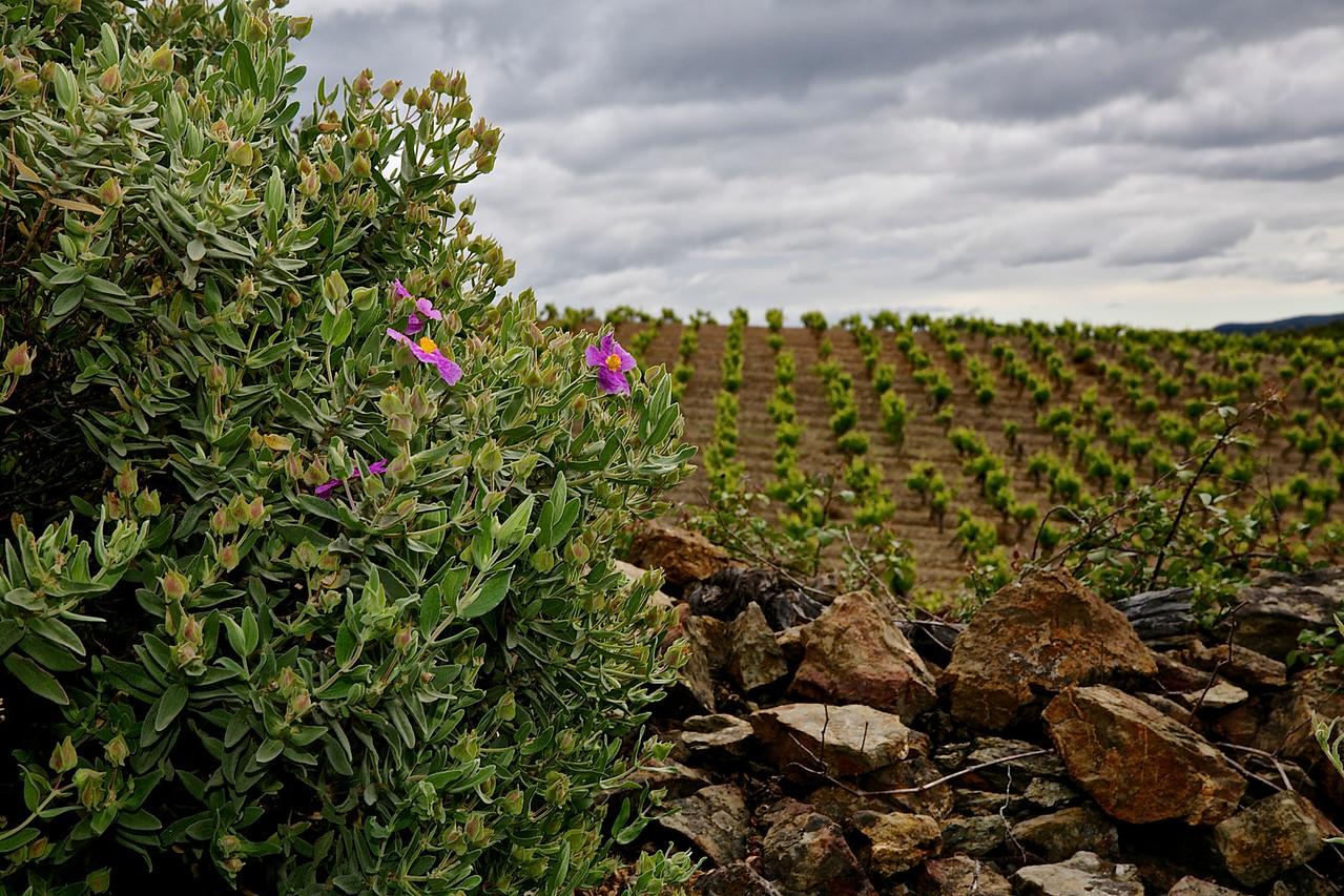 Terroir Of A Faugères Vineyard.
