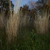 Native Grass.  Near Saint-Georges-d'Orques