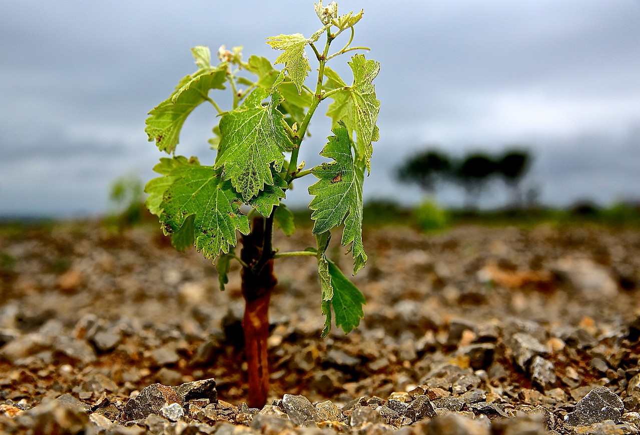 A Fresh Start.  Vineyard In La CLape