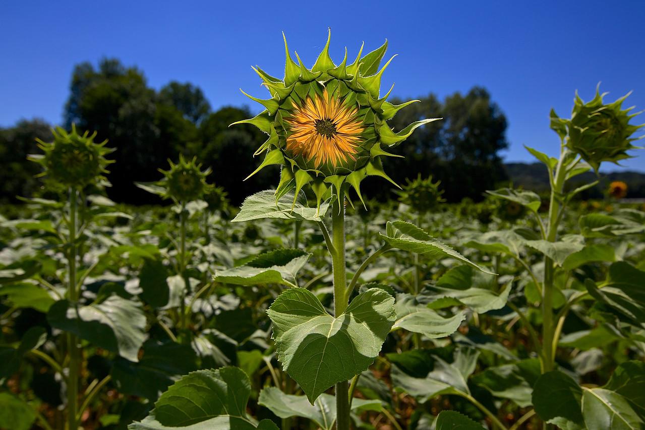 Sunflower #2. Montolieu.