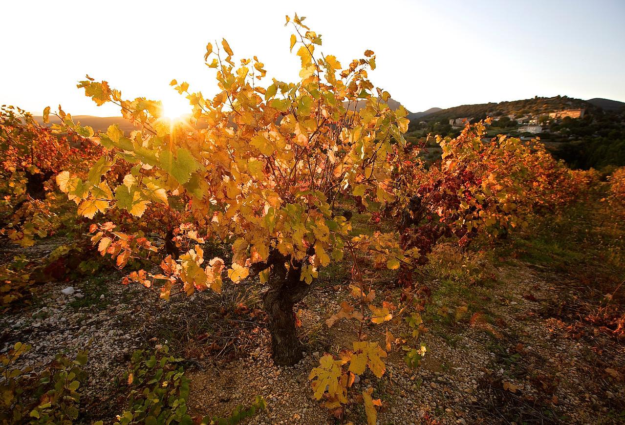Vines In Autumn.  Arboras, Languedoc.