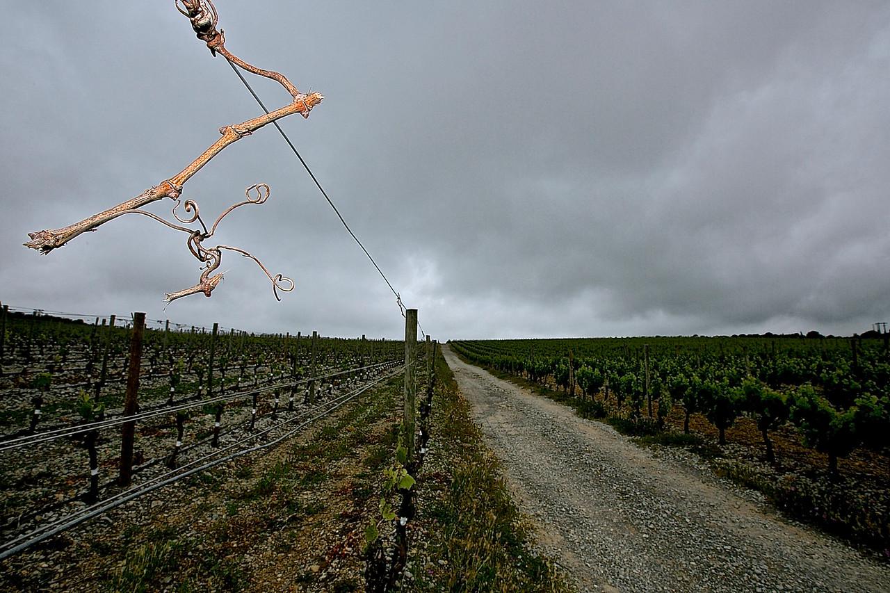 Holding On.  A La Clape Vineyard