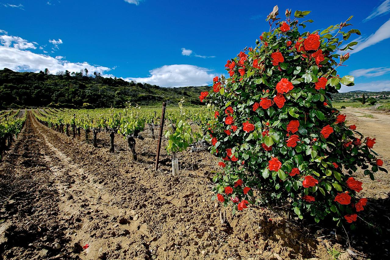 Roses Of Health. Saint Saturnin Vineyard.
