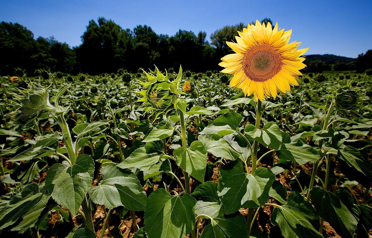Sunflower #1.  Montolieu.