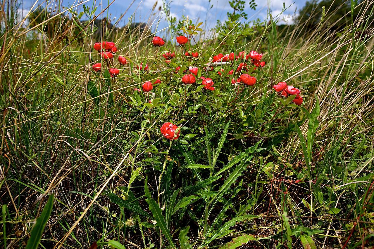Wild Rose.  Cabrières