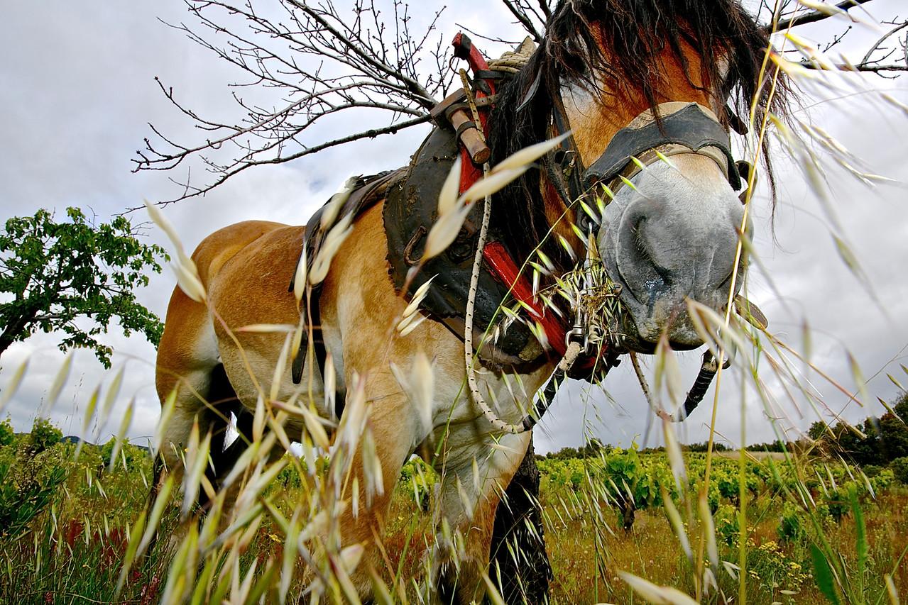 Vineyard Workhorse #4.  Faugères.