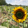 Lanni Orchards in Lunenburg held a Sunflower Festival on Saturday, August 31, 2019. The morning rush of people to see the sunflowers and get one was large and by the middle of the day this sunflower was one of the only ones left. SENTINEL & ENTERPRISE/JOHN LOVE