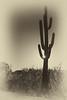 Saguaro--8