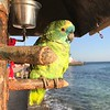 The resident parrot on the esplanade