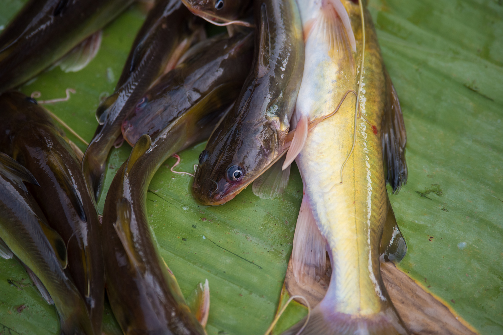 MeKong River Fish at the Morning Market in Luang Prabang