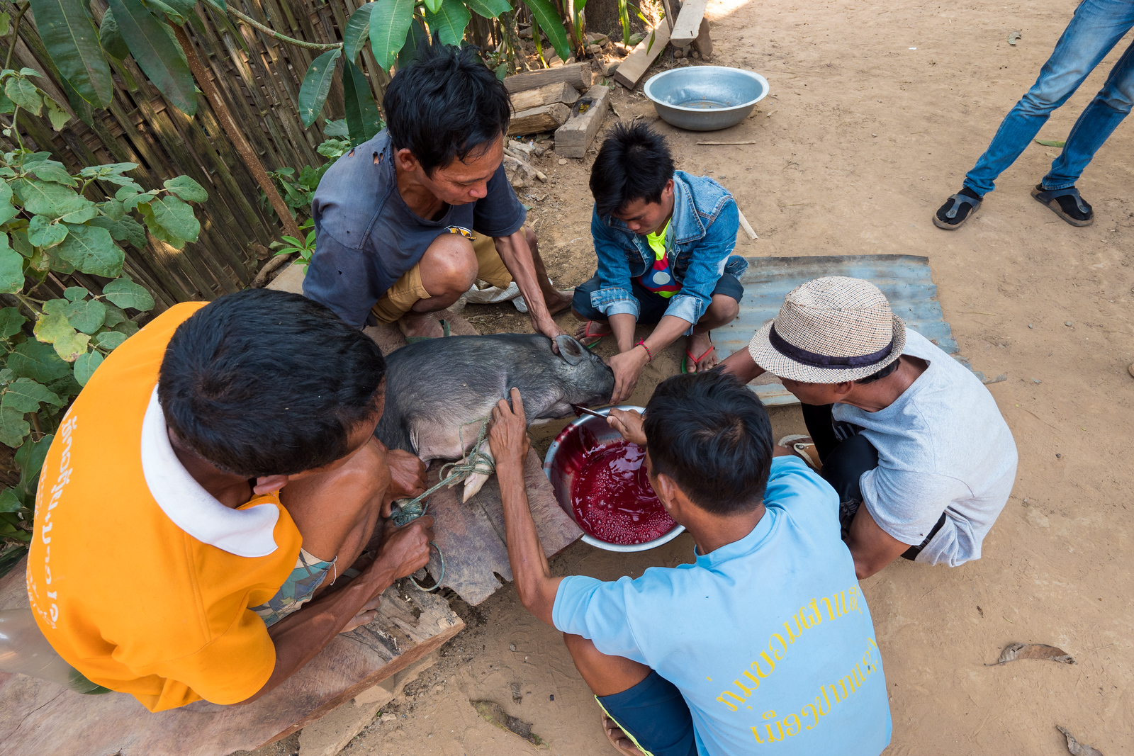Khmu people butcher a pig