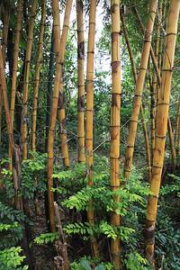 Żółty bambus