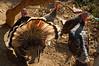 Huge turkeys roam through the village