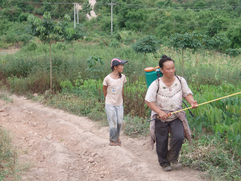 rubber trees pesticide treatment- the government is trying to give people alternative to growing opium