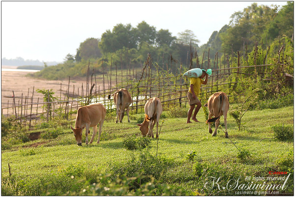 Soaking in the sun.. Such a pretty evening for cows, huh?