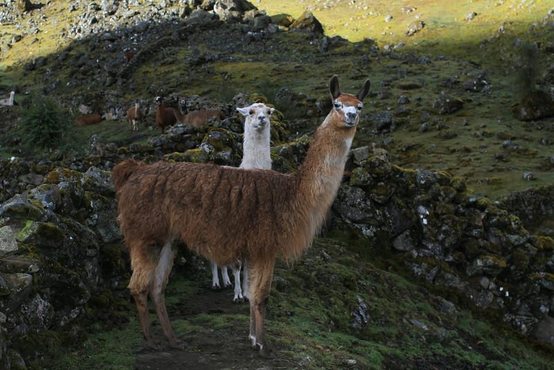 Curious llamas