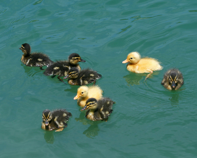 Ducklings. Light as corks!
