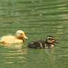 Two Babies (I think Moma Mallard might have 'gotten around'!)