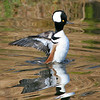 Male Merganser Display
