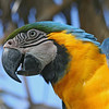 Hello! Blue and gold Macaw, close-up.