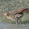 Clapper Rail Stretching