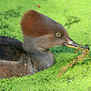 Female Hooded Merganser in Duckweed.