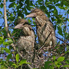 Young Black Crowned Night Herons (aka Baby Teradactyls)