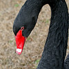 Black Swan, Red Bill.