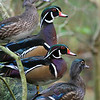 Wood Ducks Perching