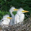 Wide-Eyed Egret Chicks
