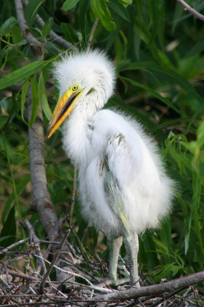 Single Great Egret Chick