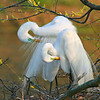 Egret Love (large size)