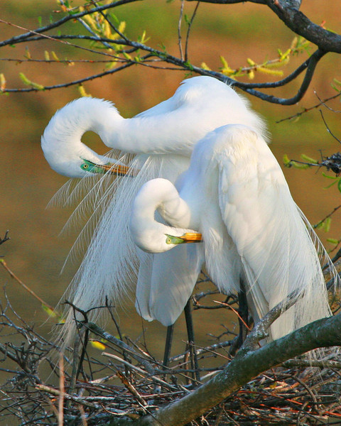 Egret Love (Vertical)