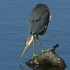 Tri-Colored Heron, 127