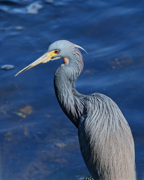 Little Blue Heron, Profile