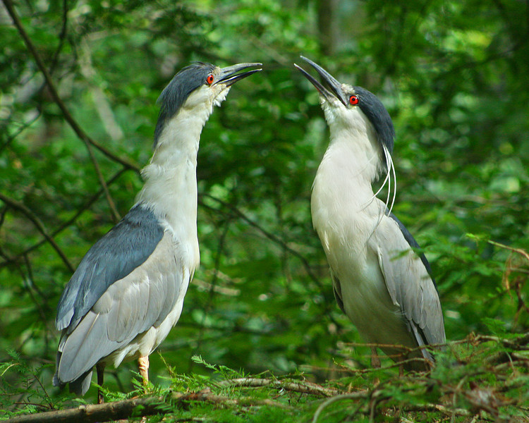 Black Crowned Night Herons, Courtship