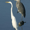 Great Blue and Great Egret 116